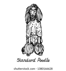 Dog of Standard Poodle breed sitting, hand drawn doodle sketch with inscription, isolated vector outline illustration