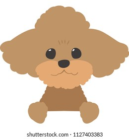 A dog that peeps at the face (toy poodle)