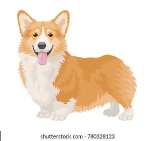 Dog Welsh Corgi isolated on white background