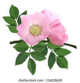 Dog-rose blooms