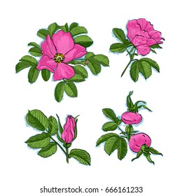 Dog-rose drawing flowers, Hand-drawn Wild Rose isolated. Botanical drawings, Colorful flowers on white background, Vector Briar Rose illustration