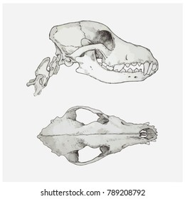 Dog's skull - top and side view - vector illustration
