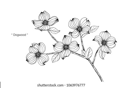 Dogwood images stock photos vectors shutterstock dogwood flower drawing illustration black and white with line art on white backgrounds mightylinksfo