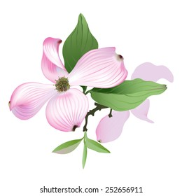 Dogwood - pink. Hand drawn vector illustration of Pink Dogwood flowers on white background.