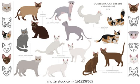 Semi Longhair Cat Breed High Res Stock Images Shutterstock