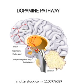 Dopamine hypothesis of schizophrenia. dopamine pathway dysfunction. Humans brain with dopamine pathways.