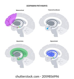 Dopamine pathway in the human brain. Monoamine neurotransmitter. Motivational component of reward motivated behavior. Motor control, controlling the release of various hormones vector illustration