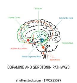 Dopamine and serotonin pathways in the brain. Neuroscience medical infographic. Striatum, substantia nigra, hippocampus, ventral tegmental area and nucleus accumbens.