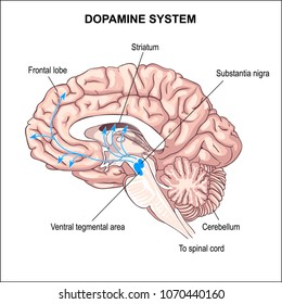Dopamine system. anatomy of the Central nervous system. human brain.  sense of pleasure. switching attention. schizophrenia, Parkinson.  Aging process