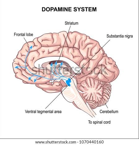 Dopamine System Anatomy Central Nervous System Stock Vector (Royalty ...
