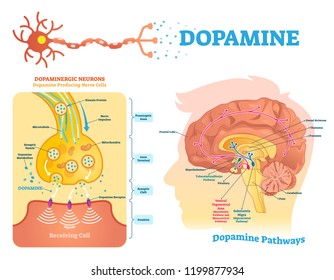 Dopamine vector illustration. Labeled diagram with its action and pathways. Scheme with closeup presynaptic axon, terminal, synaptic cleft, dendrite and receiving cells.