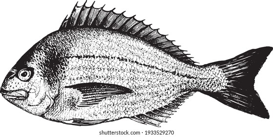 Dorado, fish collection. Healthy lifestyle, delicious food. Hand-drawn images, black and white graphics.