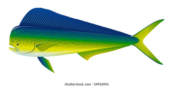 "Dorado saltwater fish (Coryphaena hippurus) isolated on white. ""Full compatible. Created with gradients."""