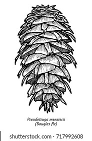 Douglas fir illustration, drawing, engraving, ink, line art, vector