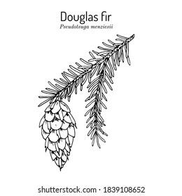 Douglas-fir (Pseudotsuga menziesii), state tree of Oregon. Hand drawn botanical vector illustration