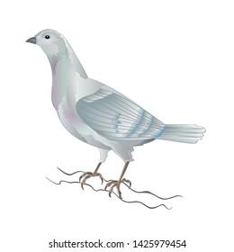 Dove white pigeon  breeding bird   domestic breeds sports bird on white background vintage   vector  animals illustration for design editable hand draw