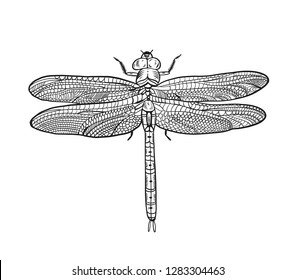 Dragonfly hand drawn vector illustration. Animal cartoon style. Isolated on white background.