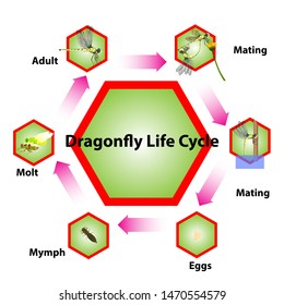 Dragonfly life cycle Insect breeding system Graphics created from vector programs.