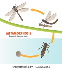 Dragonfly life cycle metamorphosis