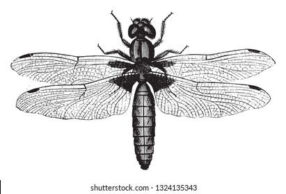 Dragonfly, vintage engraved illustration. From Zoology Elements from Paul Gervais.