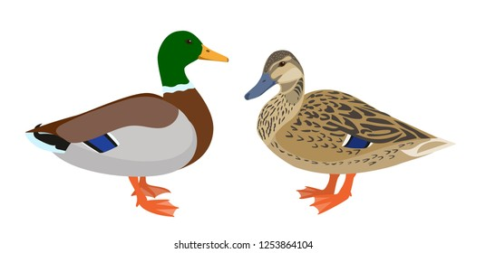 Drake and hen ducks isolated on white background, pair of mallard ducks, vector illustration in flat style