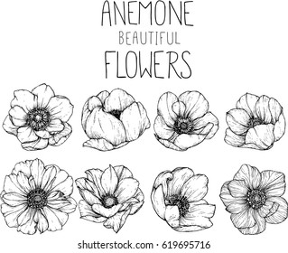 drawing anemone flowers illustration vector and clip-art.