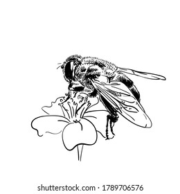 Drawing of bee on flower, Vector sketch Hand drawn illustration isolated