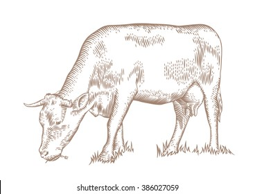 Drawing of the brown cow grazing on the green grass