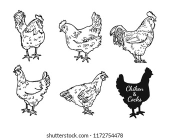 Drawing chickens and cocks. Skecth of hens and roosters. Domestic village bird  set.