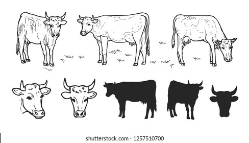 Drawing cows or cattle collection isolated on the white background. Hand drawn sketch of domestic cows with heads and silhouettes.
