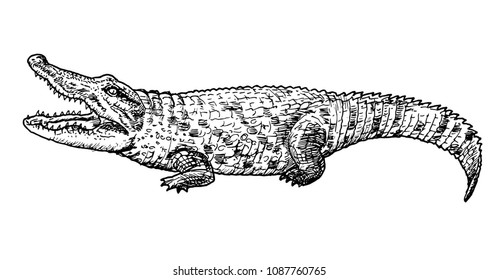 Drawing of crocodile - hand sketch of reptile, black and white illustration