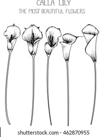 drawing flower. calla lily clip art  or illustration.