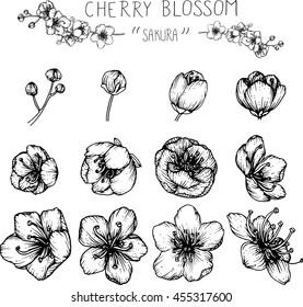 drawing flower. cherry blossom or sakura clip-art .