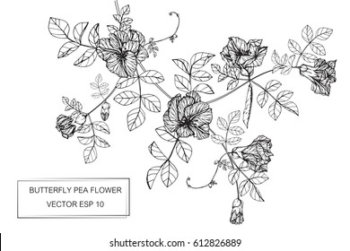 Drawing flowers. Butterfly pea flower vector illustration and clip art on white backgrounds.