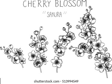 drawing flowers. cherry blossom clip-art or illustration.