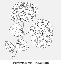 drawing of flowers of hydrangea, linear black and white image