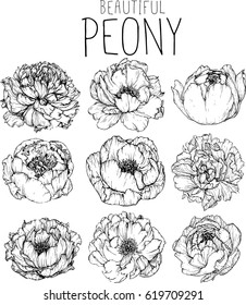 drawing flowers. peony flower clip-art or illustration.