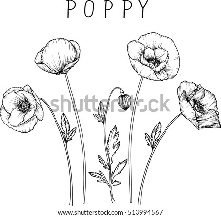 Drawing Flowers Poppy Flower Clipart Illustration Stock Vector