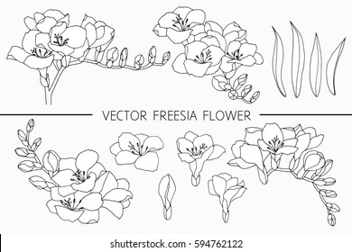 Drawing flowers. Vector collection set of freesia flower by hand drawing on white backgrounds.
