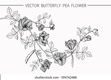 Drawing flowers. Vector collection set of butterfly pea flower by hand drawing on white backgrounds.