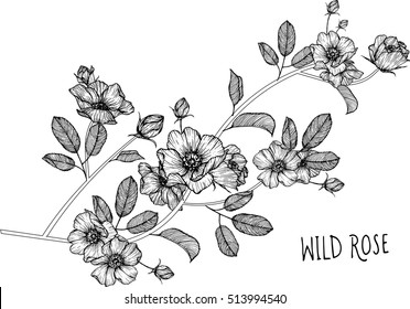 drawing flowers. Wild roses clip-art or illustration.