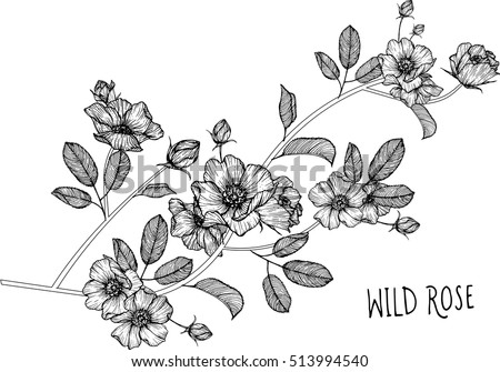 Drawing Flowers Wild Roses Clipart Illustration Stock Vector