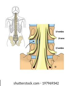 Drawing of the lumbar and sacral nerves -- labelled