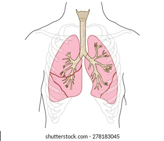 Cavity bronchi diagram diy enthusiasts wiring diagrams drawing lungs trachea bronchi bronchioles chest stock vector rh shutterstock com trachea diagram lung diagram with labels ccuart Image collections