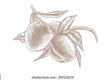 Drawing of peach branch with fruit and leaves