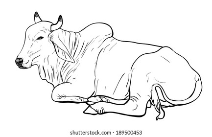 Drawing of resting white cow,American Brahman