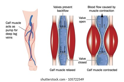 Drawing to show the action of the calf muscle in pumping blood from the lower limb back to the heart
