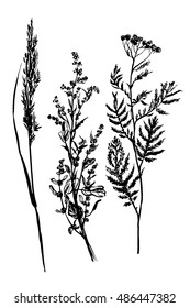drawing sketch set of three field herbs, tansy, wormwood and sedge, sketch hand drawn vector illustration