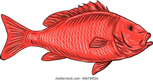 Drawing sketch style illustration of an Australasian snapper, silver seabream, Pagrus auratus, a species of porgie swimming viewed from the side set on isolated white background.