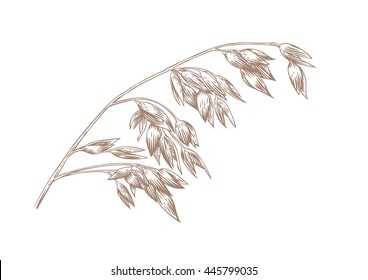 Drawing of spikelet of oat on the white
